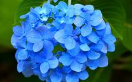 Blue Hydrangea 12 Desktop Wallpaper