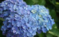 Blue Hydrangea 13 Free Hd Wallpaper