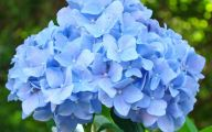 Blue Hydrangea 14 Hd Wallpaper