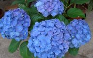 Blue Hydrangea 15 Desktop Wallpaper