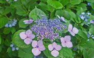 Blue Hydrangea 18 Widescreen Wallpaper