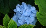Blue Hydrangea 19 Cool Hd Wallpaper