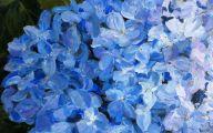 Blue Hydrangea 2 Desktop Wallpaper
