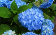 Blue Hydrangea 21 Cool Hd Wallpaper