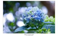 Blue Hydrangea 22 Free Hd Wallpaper