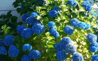 Blue Hydrangea 25 High Resolution Wallpaper