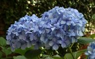 Blue Hydrangea 3 Free Wallpaper