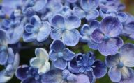 Blue Hydrangea 6 Desktop Background