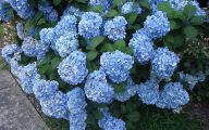 Blue Hydrangea 7 Desktop Background