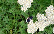 Blue Yarrow Flowers  12 Desktop Background
