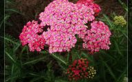 Blue Yarrow Flowers  14 Free Hd Wallpaper
