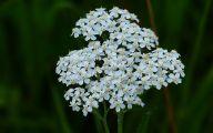 Blue Yarrow Flowers  18 Free Hd Wallpaper