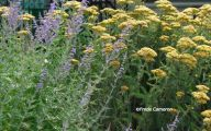 Blue Yarrow Flowers  19 Free Hd Wallpaper