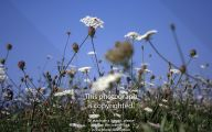 Blue Yarrow Flowers  35 Cool Hd Wallpaper