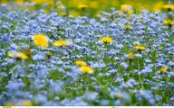 Blue Yellow Flowers  40 Background Wallpaper