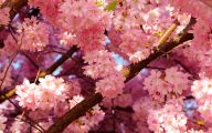 Cherry Blossoms 12 Background Wallpaper