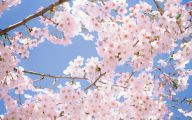 Cherry Blossoms 14 Free Wallpaper