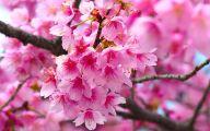 Cherry Blossoms 15 Desktop Wallpaper