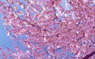 Cherry Blossoms 16 Wide Wallpaper