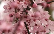 Cherry Blossoms 19 Free Wallpaper