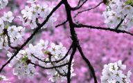 Cherry Blossoms 21 Background Wallpaper