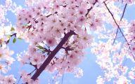 Cherry Blossoms 23 Desktop Wallpaper