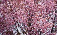 Cherry Blossoms 24 Cool Wallpaper
