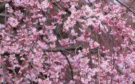 Cherry Blossoms 25 Cool Hd Wallpaper