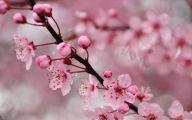 Cherry Blossoms 26 Wide Wallpaper