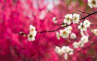 Cherry Blossoms 27 High Resolution Wallpaper