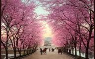Cherry Blossoms 30 Hd Wallpaper
