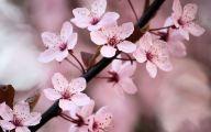 Cherry Blossoms 32 High Resolution Wallpaper