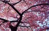 Cherry Blossoms 35 Background Wallpaper