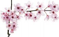 Cherry Blossoms 7 Free Hd Wallpaper