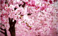 Cherry Blossoms 8 Widescreen Wallpaper