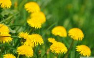 Flower Wallpaper Dandelion 11 High Resolution Wallpaper