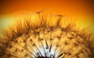 Flower Wallpaper Dandelion 20 Wide Wallpaper