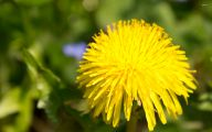 Flower Wallpaper Dandelion 24 Wide Wallpaper