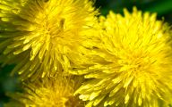 Flower Wallpaper Dandelion 30 Wide Wallpaper