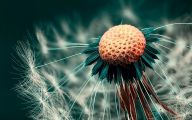 Flower Wallpaper Dandelion 6 Wide Wallpaper