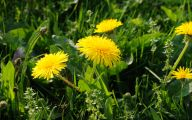 Flower Wallpaper Dandelion 8 Background