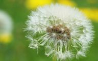 Flower Wallpaper Dandelion 9 Desktop Background