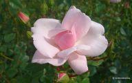 Flower Wallpaper Rose  1 Hd Wallpaper