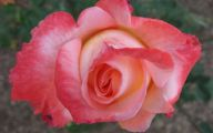 Flower Wallpaper Rose  10 Desktop Background