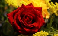 Flower Wallpaper Rose  21 Wide Wallpaper