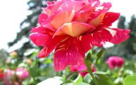 Flower Wallpaper Rose  5 High Resolution Wallpaper