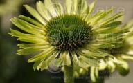Green Echinacea Flowers  10 Desktop Background