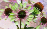 Green Echinacea Flowers  25 Desktop Background