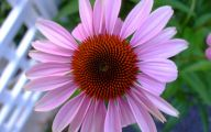 Green Echinacea Flowers  3 Desktop Background