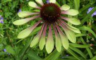 Green Echinacea Flowers  30 Background